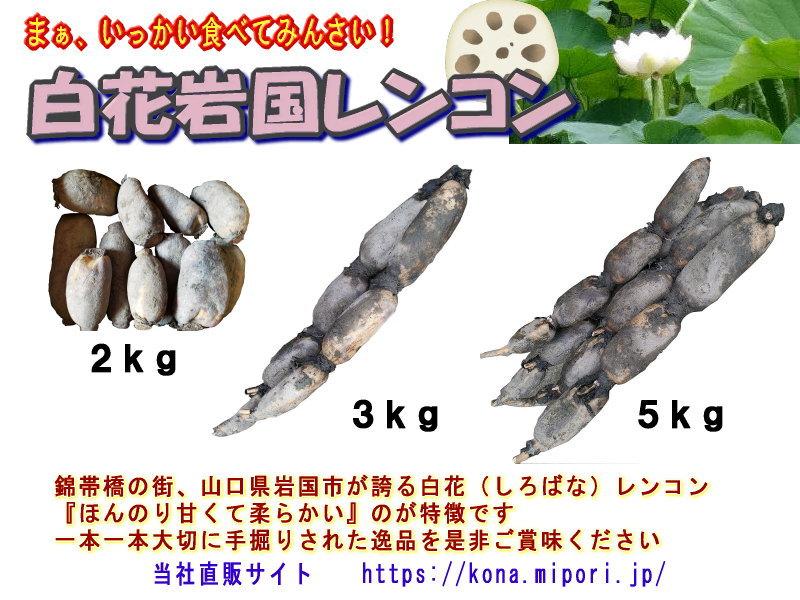 岩国れんこん(白花種)